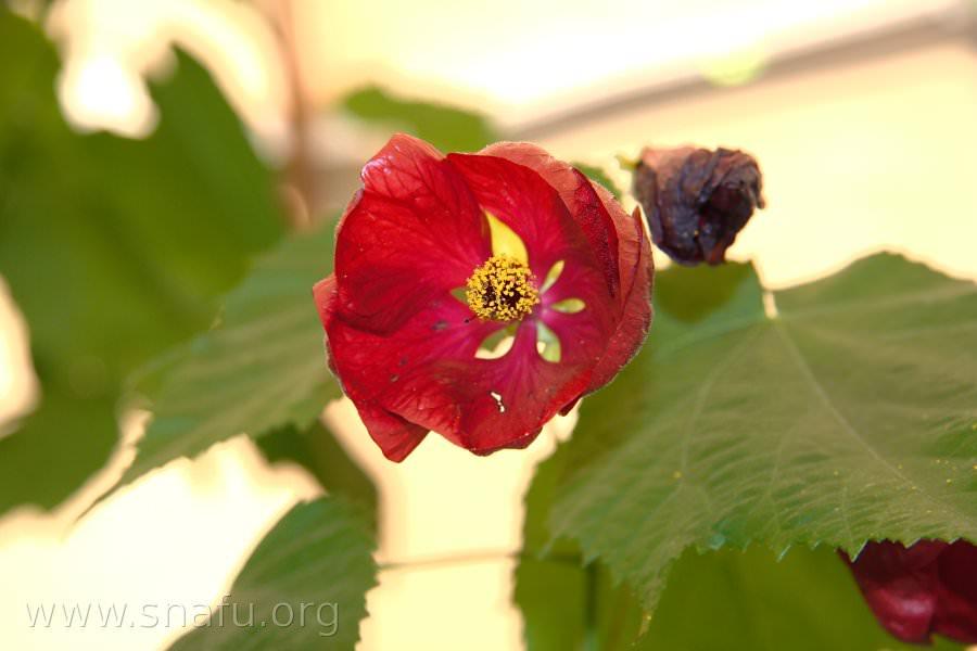 Abutilon blossom